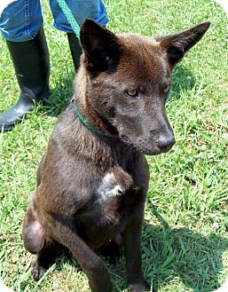 Dutch Shepherd/Dutch Shepherd Mix Dog for adoption in Glastonbury, Connecticut - Azia - courtesy post