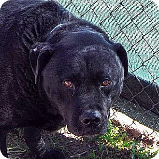 Chow Chow Dog for adoption in Bonsall, California - Louie
