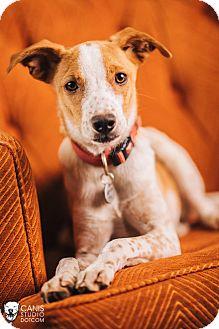 Australian Cattle Dog Mix Puppy for adoption in Portland, Oregon - Pecas