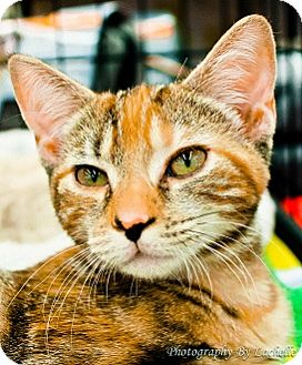 Domestic Shorthair Kitten for adoption in Richmond, Virginia - Sonny