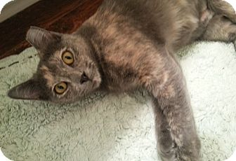 Domestic Shorthair Cat for adoption in Arlington/Ft Worth, Texas - Ally