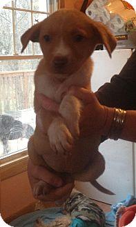 Labrador Retriever/Beagle Mix Puppy for adoption in Hammonton, New Jersey - cassie