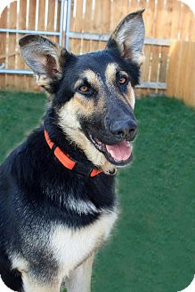 English Shepherd Mix Dog for adoption in Seattle, Washington - Riptide