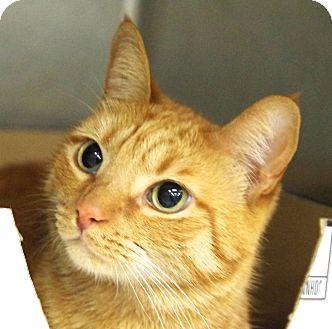 Domestic Shorthair Cat for adoption in Daytona Beach, Florida - Teddy