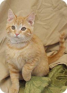 American Shorthair Kitten for adoption in Moody, Alabama - Oscar