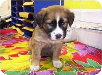 Labrador Retriever/St. Bernard Mix Puppy for adoption in Franklin, Virginia - Sophia