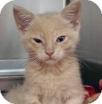 Domestic Shorthair Kitten for adoption in Wheaton, Illinois - Simba