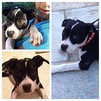 Pit Bull Terrier Mix Puppy for adoption in Wappingers, New York - Louise