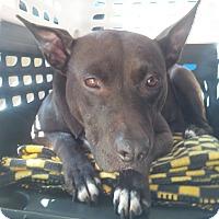 Adopt A Pet :: Lady - Clarksburg, MD
