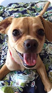 Pug/Chihuahua Mix Dog for adoption in Greenfield, Wisconsin - Dobby