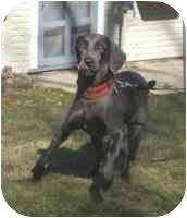 Weimaraner Dog for adoption in Mason, Michigan - Gunner