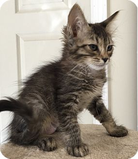 Domestic Mediumhair Kitten for adoption in Oakdale, California - Layla