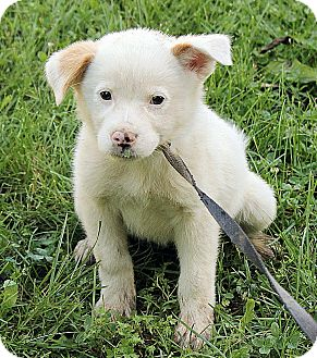 Great Pyrenees/Australian Shepherd Mix Puppy for adoption in Hagerstown, Maryland - Matilda