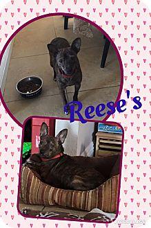 Chihuahua Mix Dog for adoption in Scottsdale, Arizona - Reeses