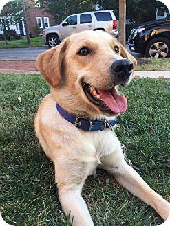 Labrador Retriever Dog for adoption in Washington, D.C. - Ellie