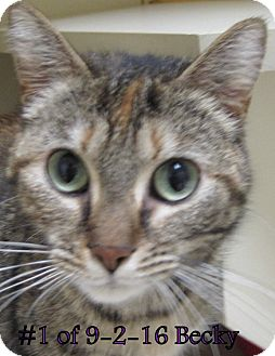 Domestic Shorthair Cat for adoption in Gaylord, Michigan - Becky