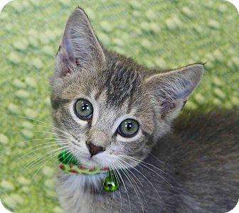 Domestic Mediumhair Kitten for adoption in Lansing, Kansas - Pius