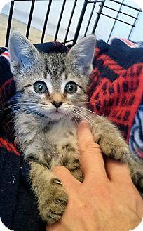 Domestic Shorthair Kitten for adoption in Atlanta, Georgia - Braveheart