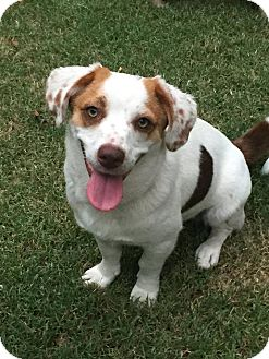 Corgi/Beagle Mix Dog for adoption in Wichita Falls, Texas - Dory