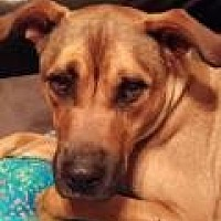 Boxer/Labrador Retriever Mix Dog for adoption in New Albany, Ohio - Mr. T