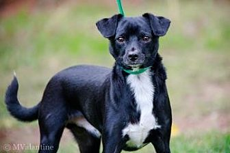 Chihuahua/Terrier (Unknown Type, Small) Mix Dog for adoption in Norman, Oklahoma - Max