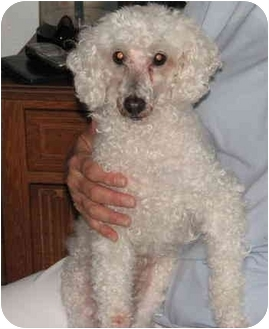 Poodle (Miniature) Dog for adoption in Melbourne, Florida - CAPPY