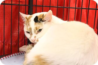 Domestic Shorthair Cat for adoption in Middletown, Ohio - Callie