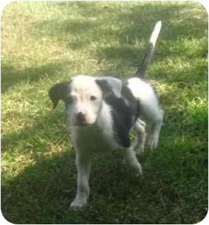 Border Collie/Boxer Mix Puppy for adoption in Upper Marlboro, Maryland - SEMPER FIDELIS