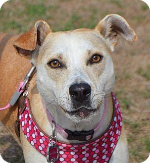 Labrador Retriever/Jack Russell Terrier Mix Dog for adoption in CRANSTON, Rhode Island - Missy