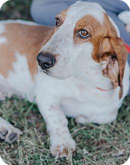 Basset Hound Mix Dog for adoption in Seneca, South Carolina - Lacey $250