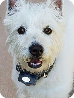 Westie, West Highland White Terrier Mix Dog for adoption in Florence, Kentucky - Cameron