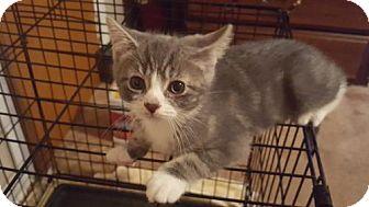 Domestic Shorthair Kitten for adoption in Akron, Ohio - D-litter - Dole