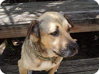 Labrador Retriever/Shepherd (Unknown Type) Mix Dog for adoption in Tampa, Florida - Olive