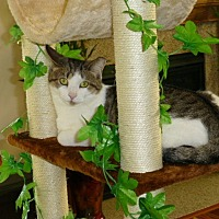 Domestic Shorthair Cat for adoption in Carlisle, Pennsylvania - AshayaCP