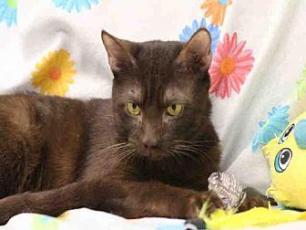 Havana Brown Cat for adoption in Lacombe, Louisiana - YAYO