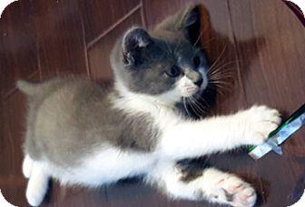 Domestic Shorthair Kitten for adoption in Mississauga, Ontario, Ontario - Rohan