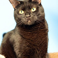 Domestic Shorthair Cat for adoption in Atlanta, Georgia - Geneva162152