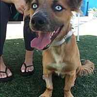 Adopt A Pet :: Blue - Encino, CA