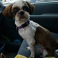 Adopt A Pet :: Toki Korea - Urbana, OH