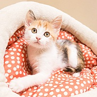 Adopt A Pet :: Dakota - Chicago, IL