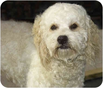 Poodle (Toy or Tea Cup)/Wheaten Terrier Mix Dog for adoption in Marina del Rey, California - Oliver