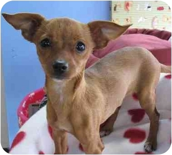 Miniature Pinscher/Chihuahua Mix Puppy for adoption in Poway, California - KHLOE