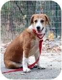 Beagle Mix Dog for adoption in Portland, Maine - Chessie