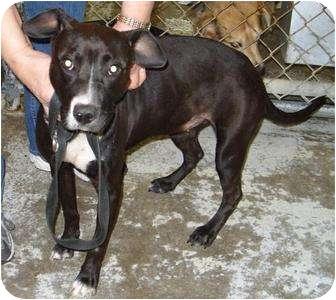 Labrador Retriever/Terrier (Unknown Type, Medium) Mix Dog for adoption in Mt. Vernon, Illinois - Hydie
