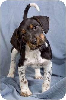Cocker Spaniel/Rat Terrier Mix Puppy for adoption in Anna, Illinois - JESSE