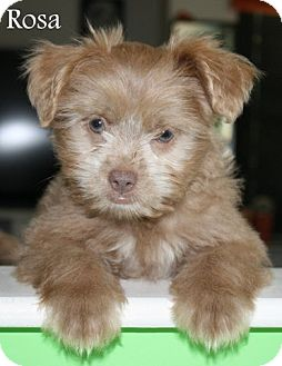Poodle (Miniature)/Terrier (Unknown Type, Small) Mix Puppy for adoption in New Jersey, New Jersey - NJ - Rosa
