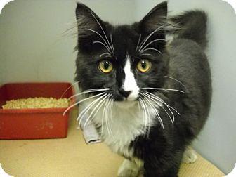 Domestic Mediumhair Kitten for adoption in Trenton, New Jersey - Harry (in foster)