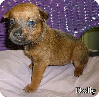 Carolina Dog Mix Puppy for adoption in Georgetown, South Carolina - Dolly