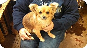 Chihuahua/Pomeranian Mix Dog for adoption in Plainfield, Connecticut - Chi Chi