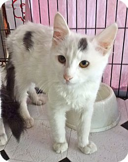Turkish Van Kitten for adoption in Escondido, California - Bogart